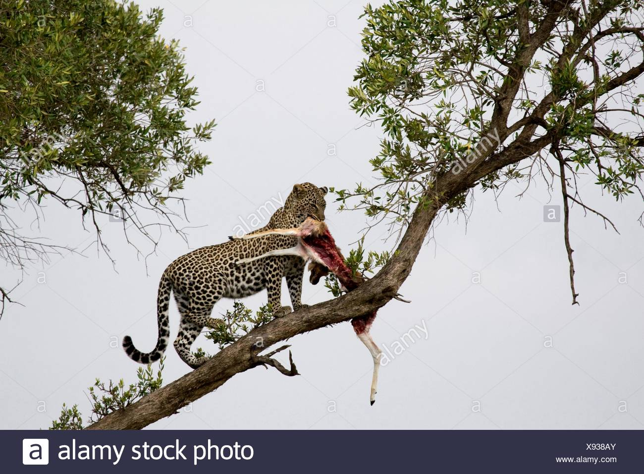 Young male adult leopard takes his kill into the tree in the Masai Mara Stock Photo