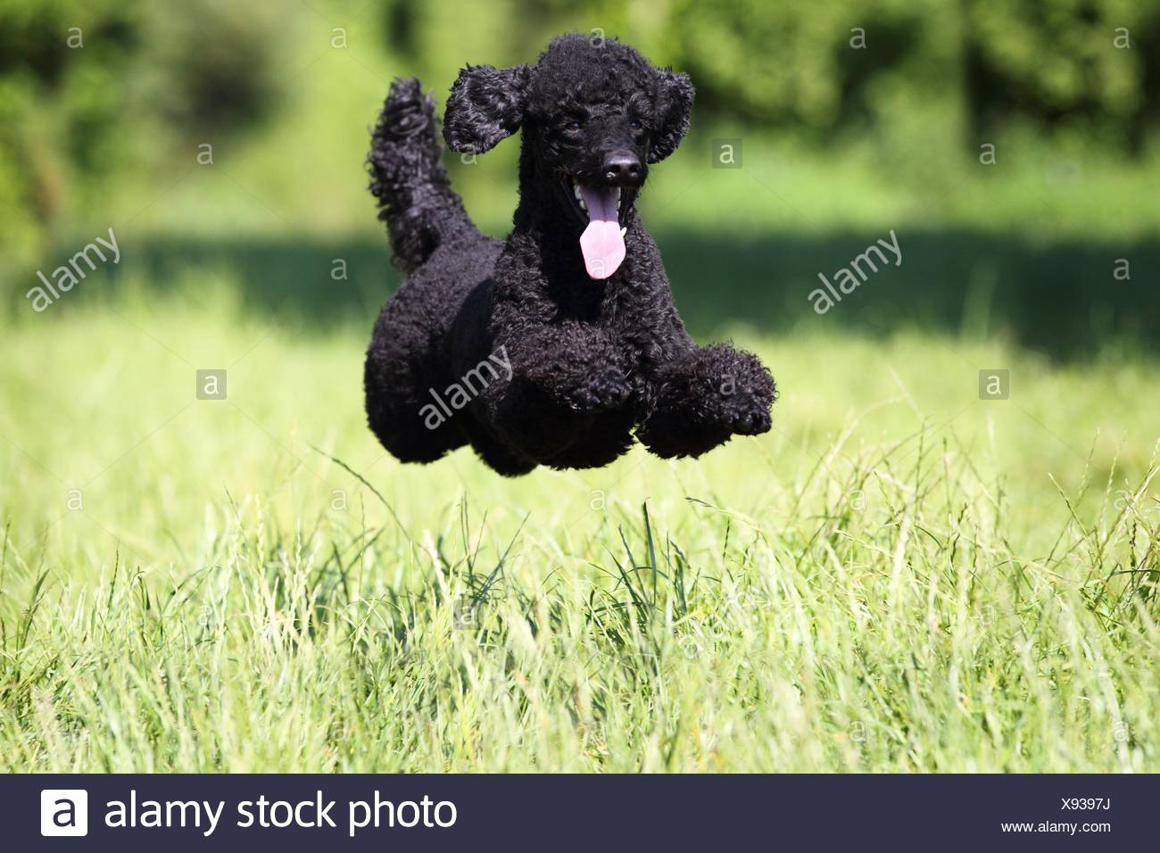 jumping Miniature Poodle - Stock Image