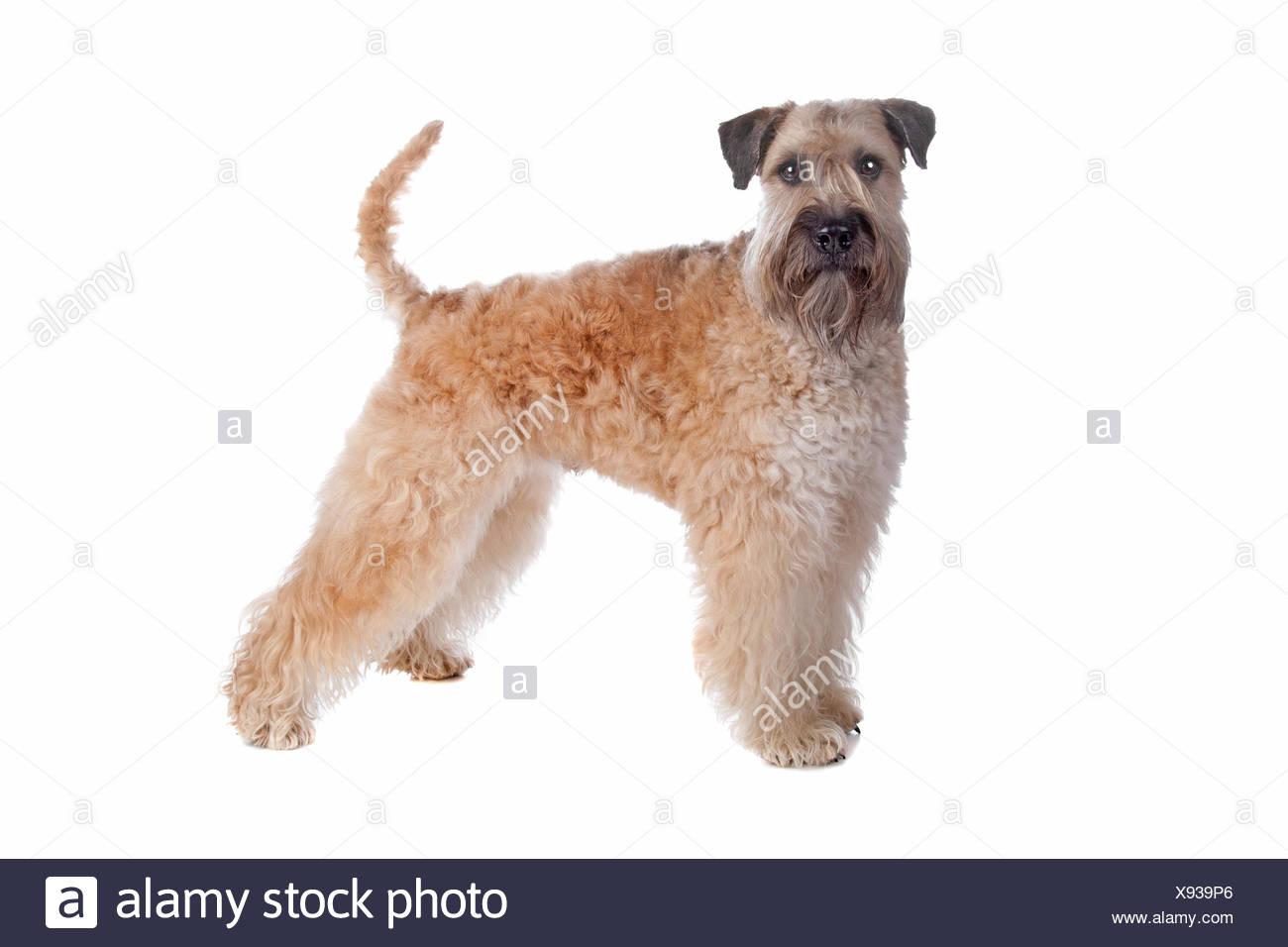 Wheaten Terrier Dog Stock Photos Wheaten Terrier Dog Stock Images