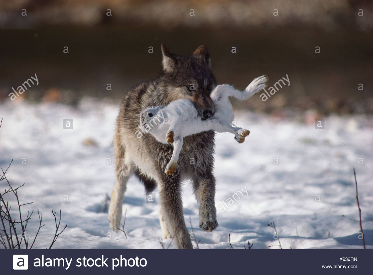 Wolf carrying white hare - Stock Image
