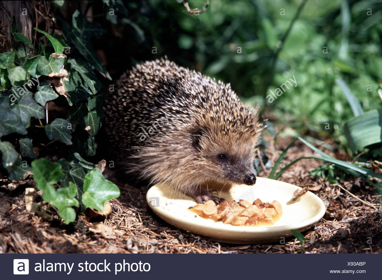 zoology / animals, mammal / mammalian, hedgehog, (Erinaceus europaeus), young hedgehog eating from plate, distribution: Europe, - Stock Image