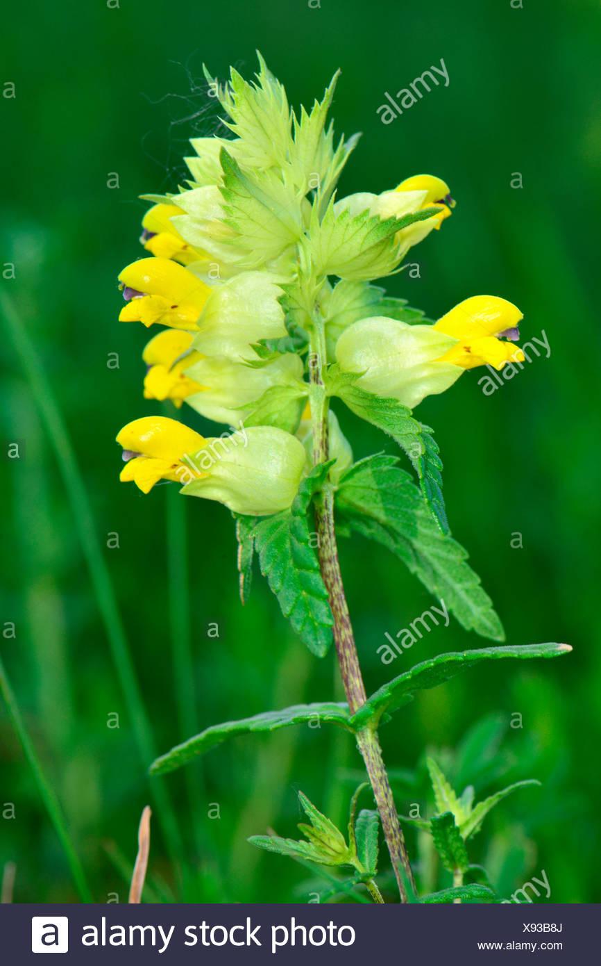 Greater Yellow Rattle Rhinanthus Angustifolius Rhinanthus