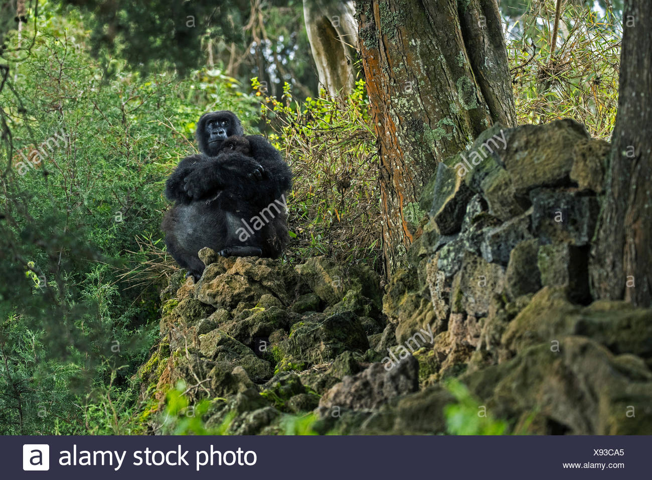 A mountain gorilla forages outside Volcanoes National Park. - Stock Image