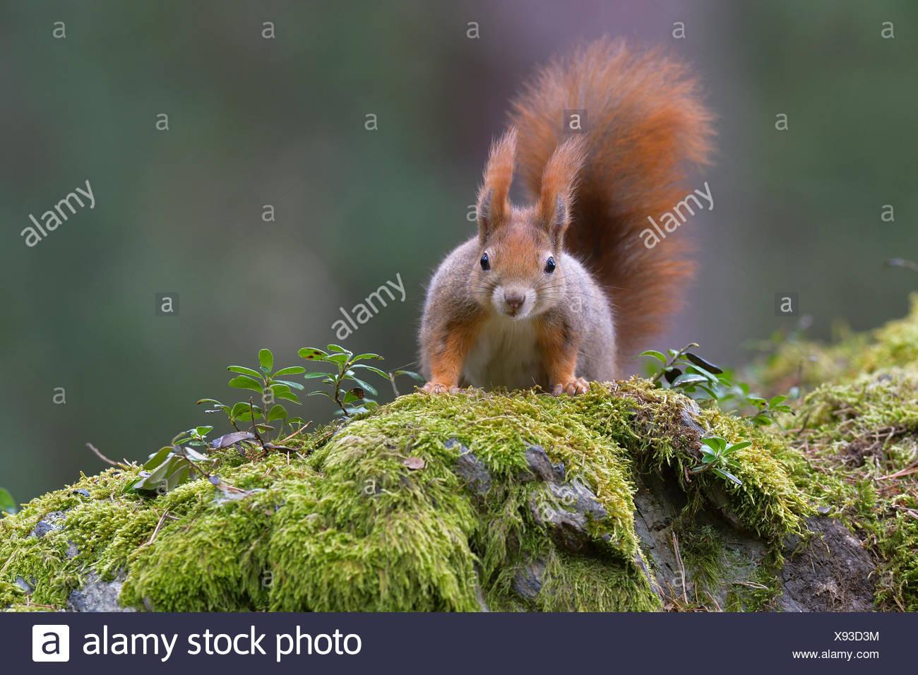 Squirrel (Sciurus vulgaris), portrait, Tyrol, Austria - Stock Image