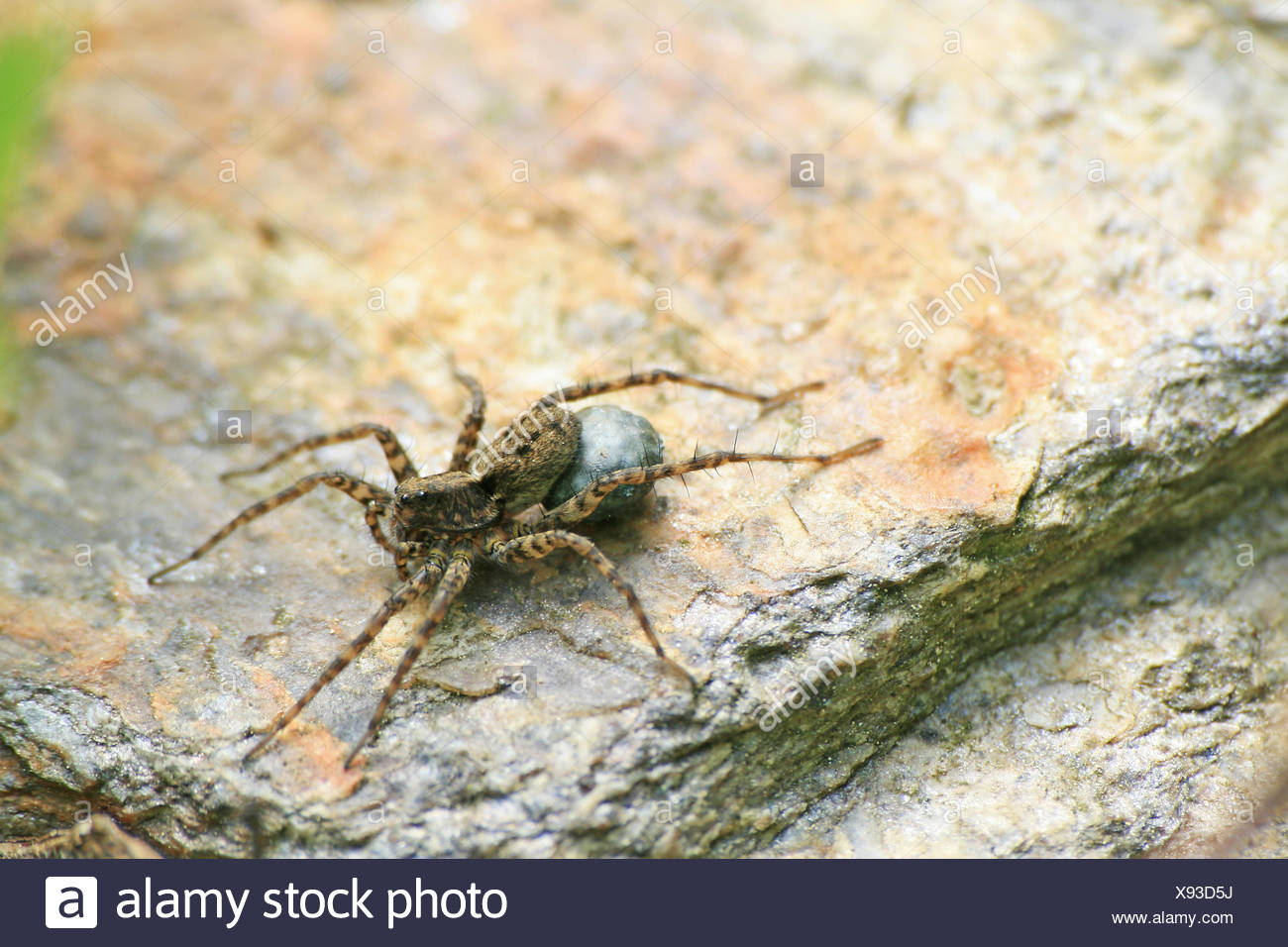 animal, insect, spider, macro, close-up, macro admission, close up view, - Stock Image
