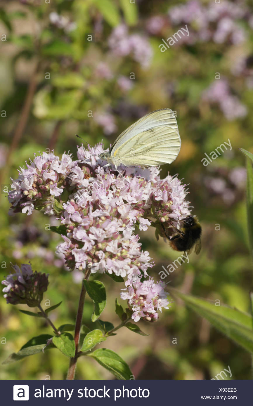 Pot Marjoram - Stock Image