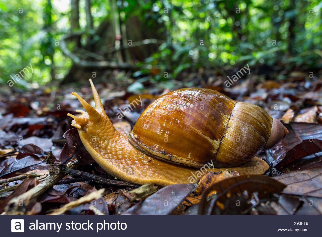 Giant land snail (Megalobulimus sp), Panguana Reserve, Huanuco province, Amazon basin, Peru. - Stock Image