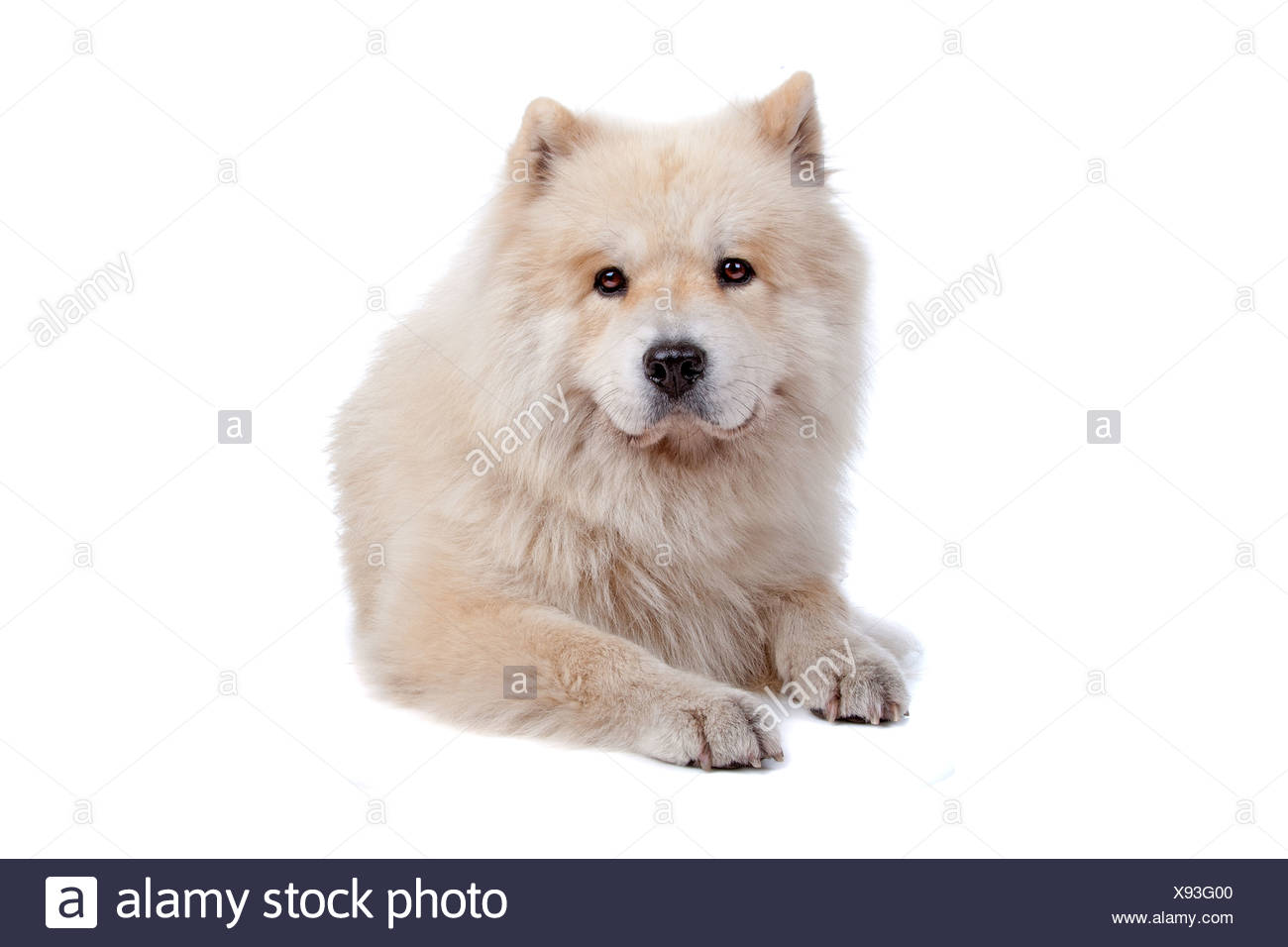 Cute mixed breed dog Chow-Chow and Samoyed lying and looking at camera, isolated on a white background - Stock Image