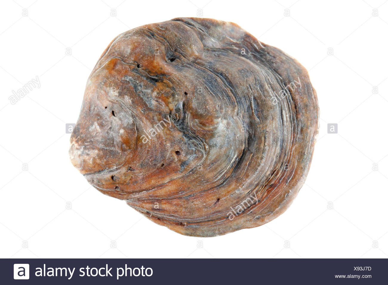 European flat oyster isolated against a white background - Stock Image