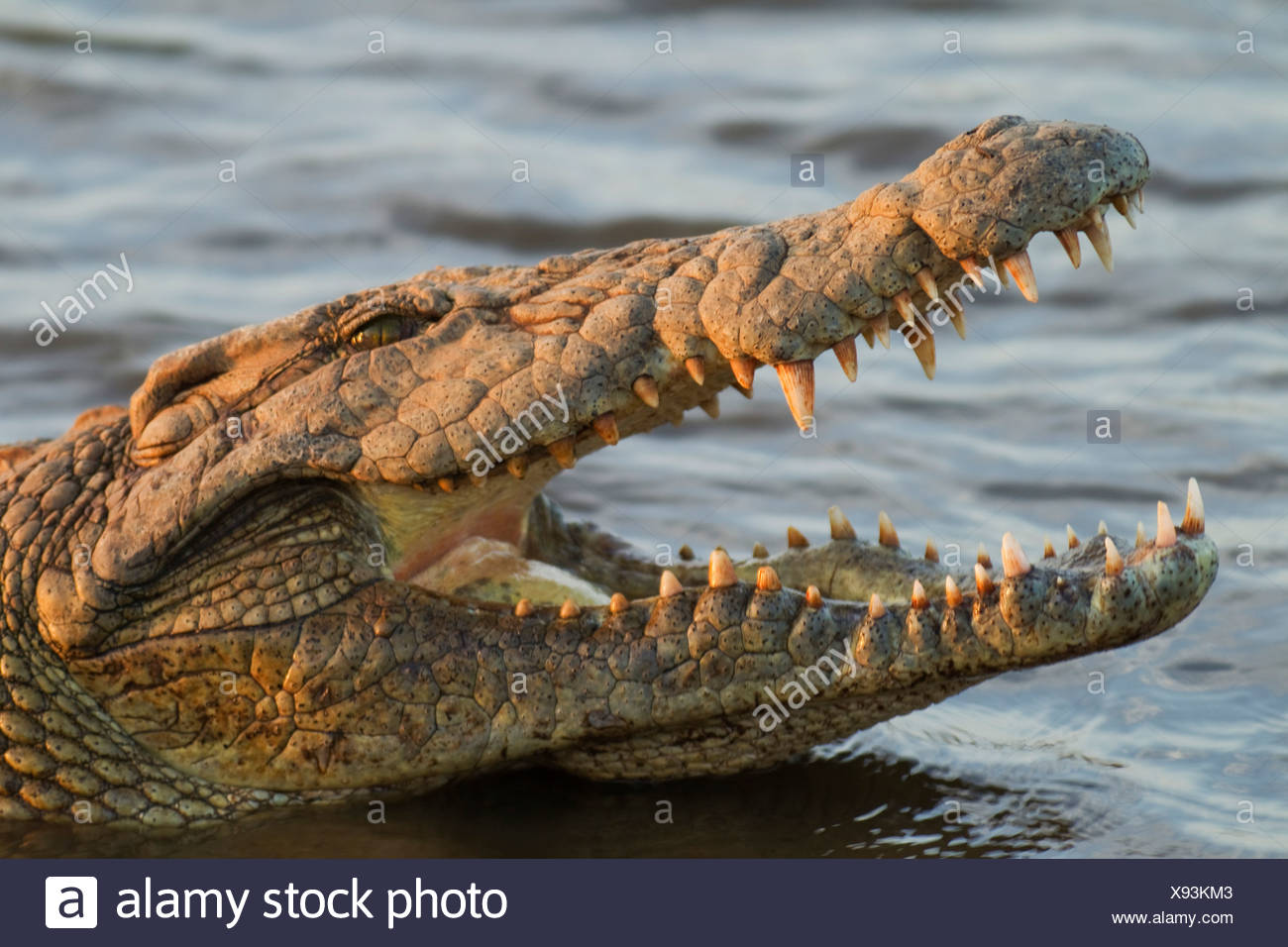 Nile Crocodile (Crocodylus niloticus), opening its mouth in order to control its body temperature, Kruger National Park - Stock Photo