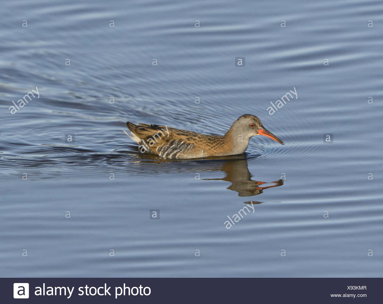 Water Rail - Rallus aquaticus - Stock Image