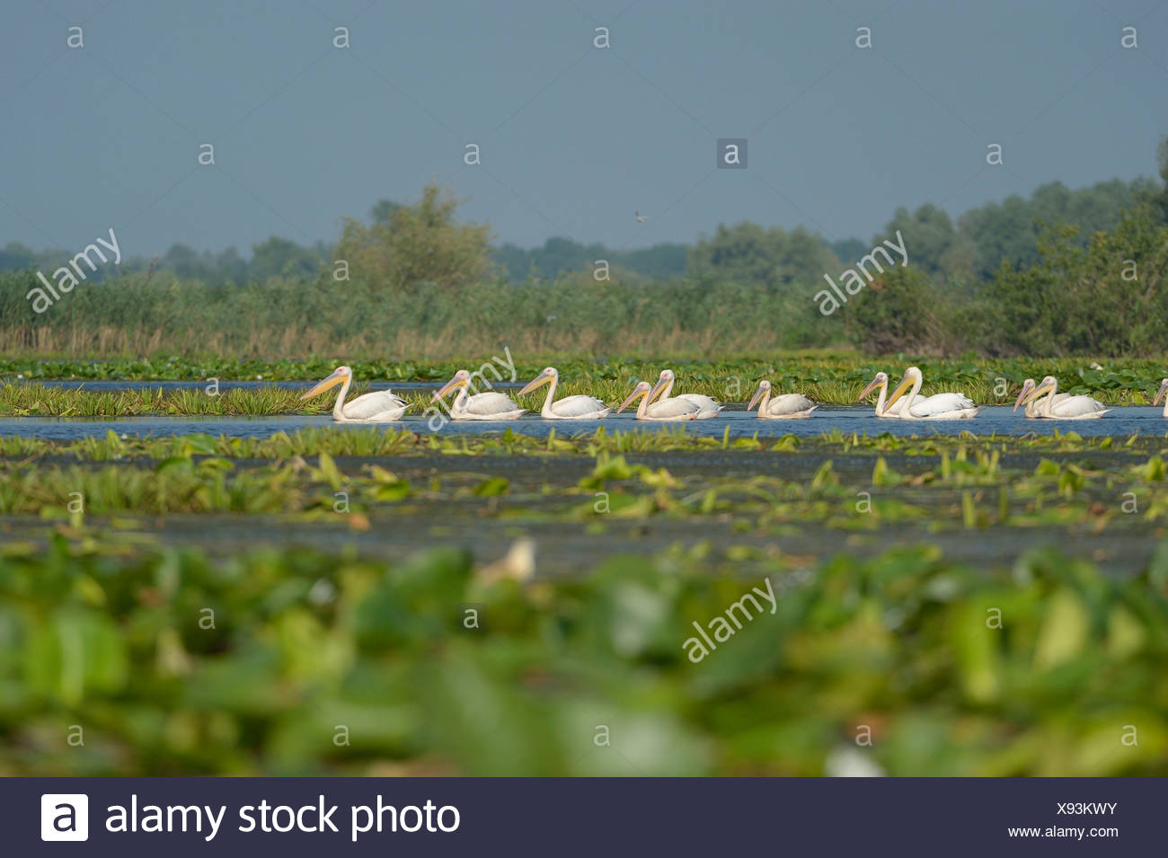 Great white pelicans (Pelecanus onocrotalus), Danube Delta, Murighiol, Romania, Europe Stock Photo