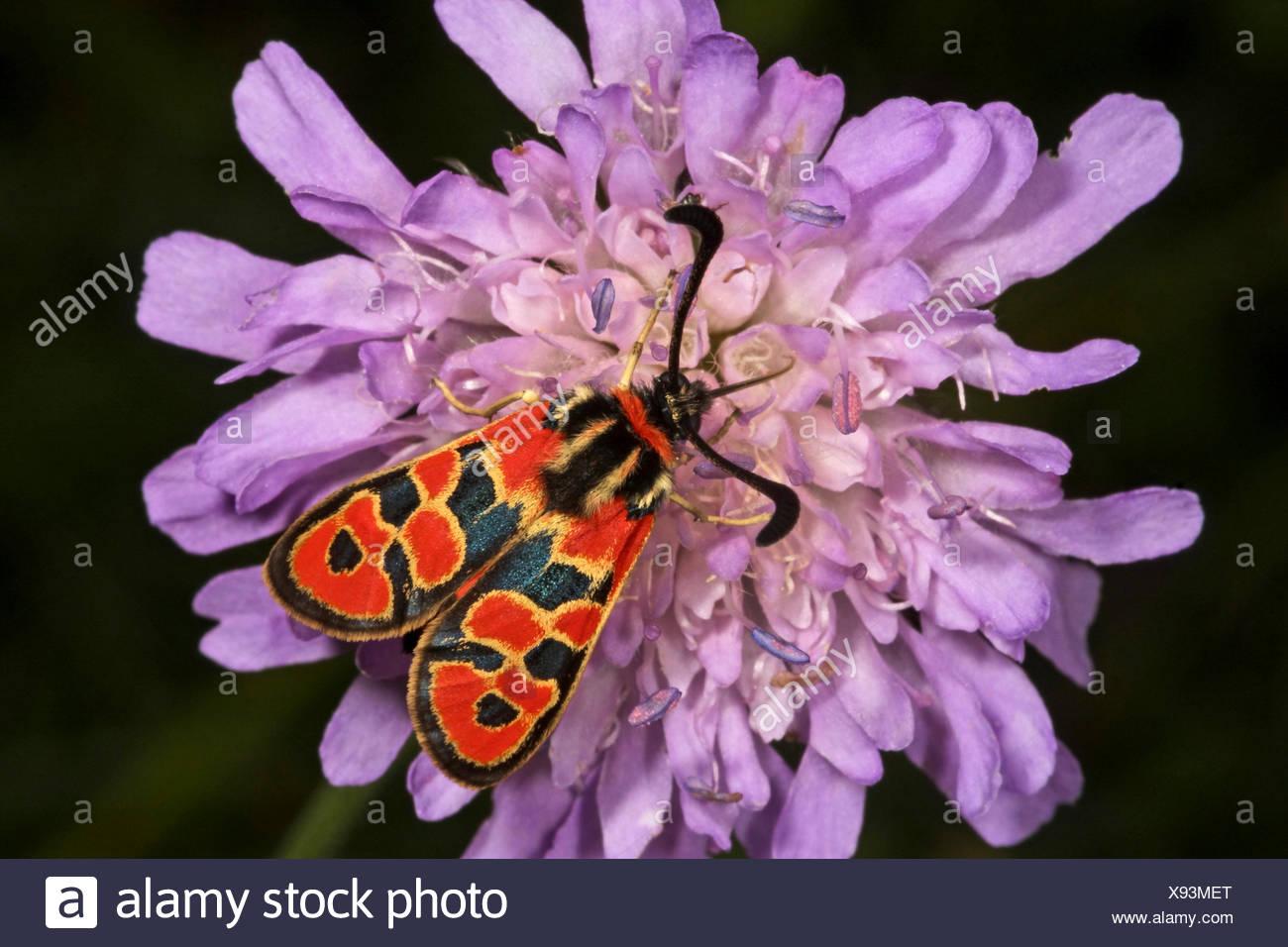 Auspicious Burnet Moth (Zygaena fausta, Zygaena faustina), on a scabious flower, Germany - Stock Image