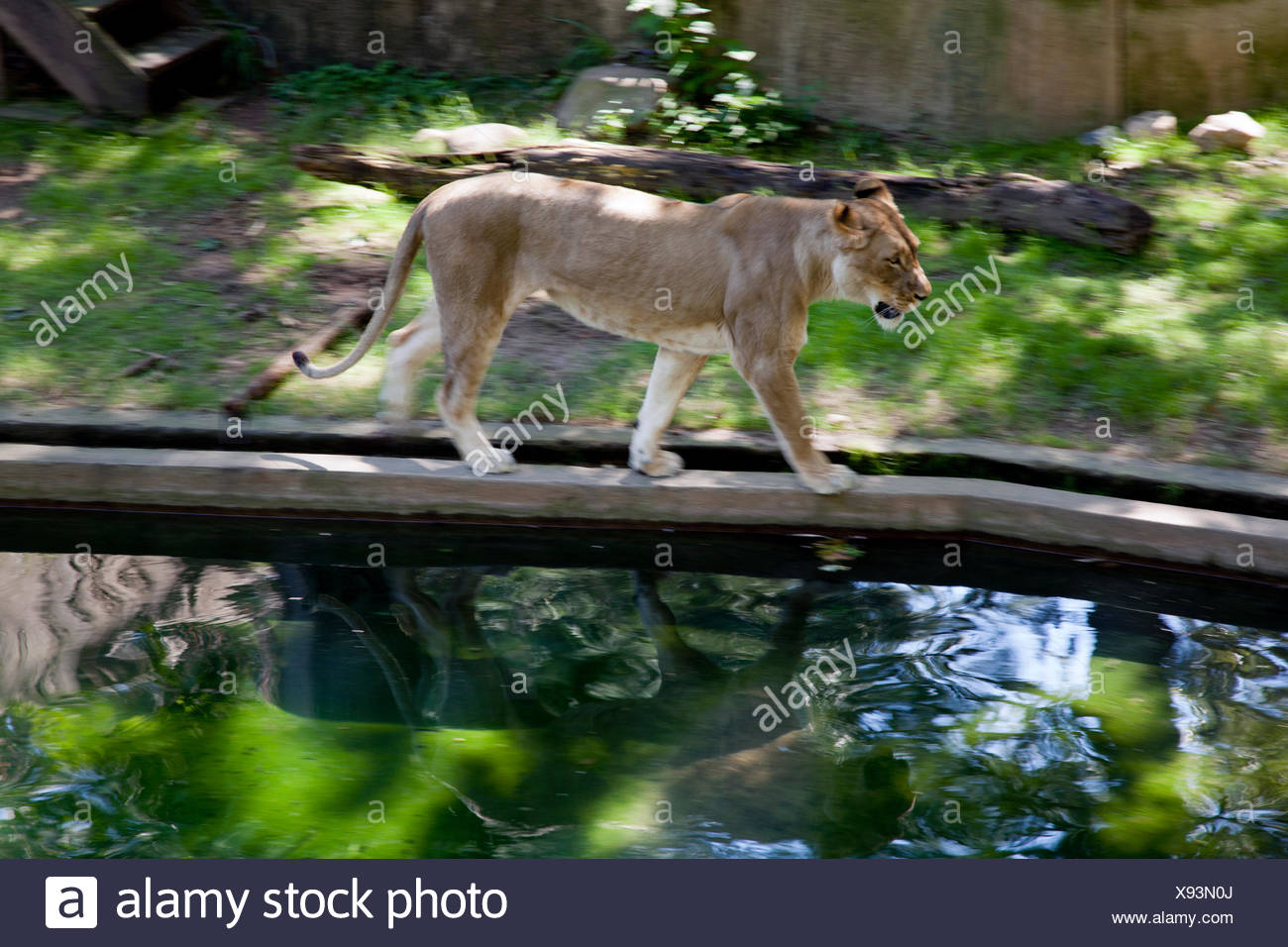 A lioness walks across a ramp at a the National Zoo in Washington DC. Stock Photo