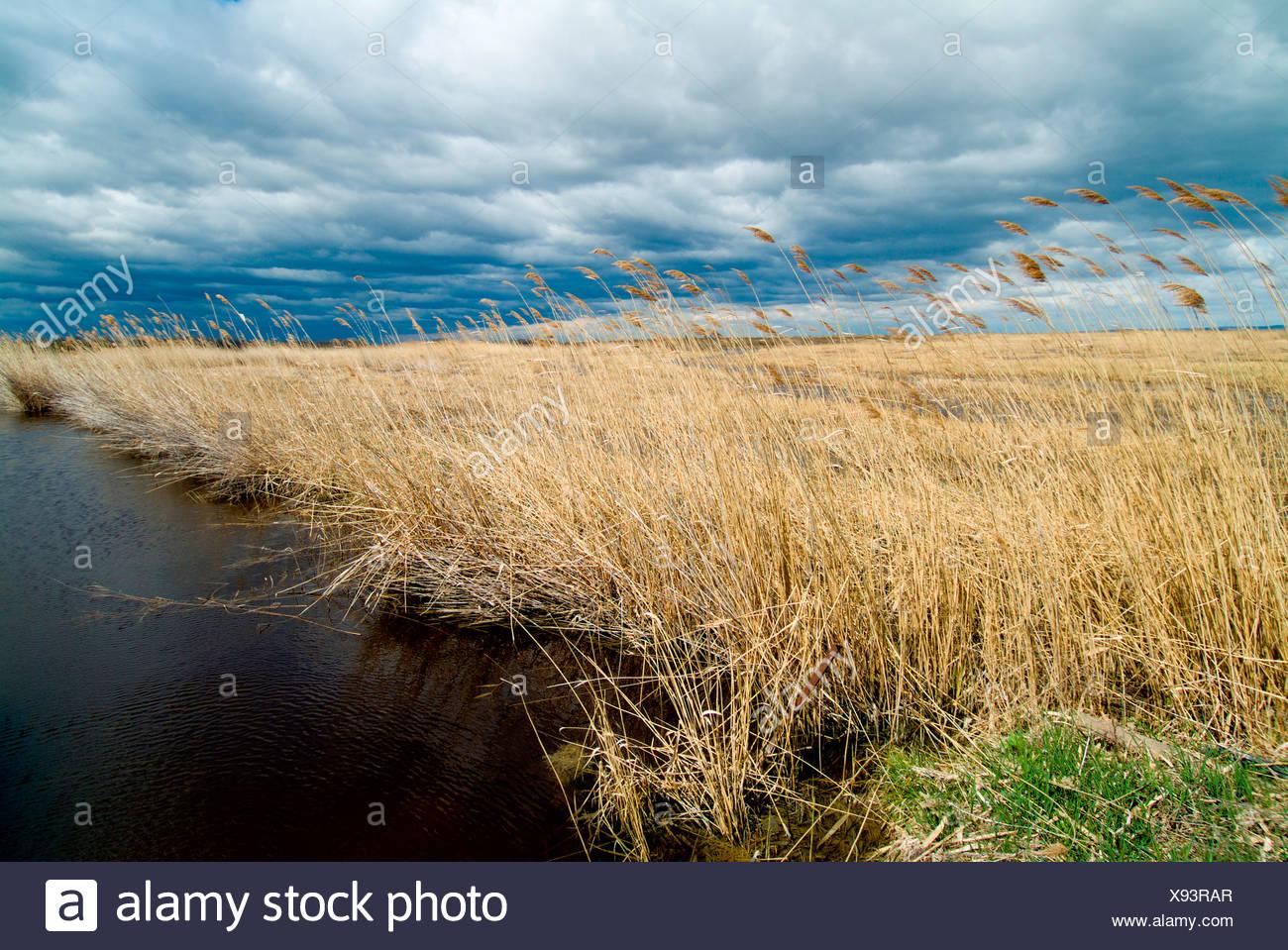Harvests reeds, Neusiedlersee Lake, Burgenland, Austria, Europe Stock Photo
