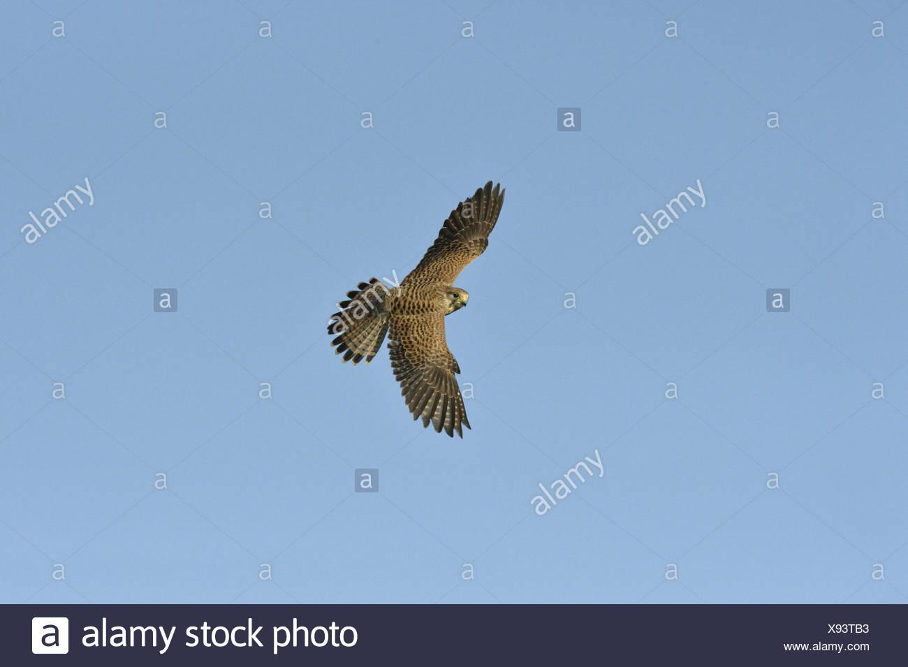 Kestrel Falco tinnunculus - Female - Stock Image