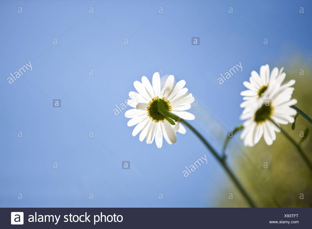 Three ox-eye daisies against a summer sky - Stock Image