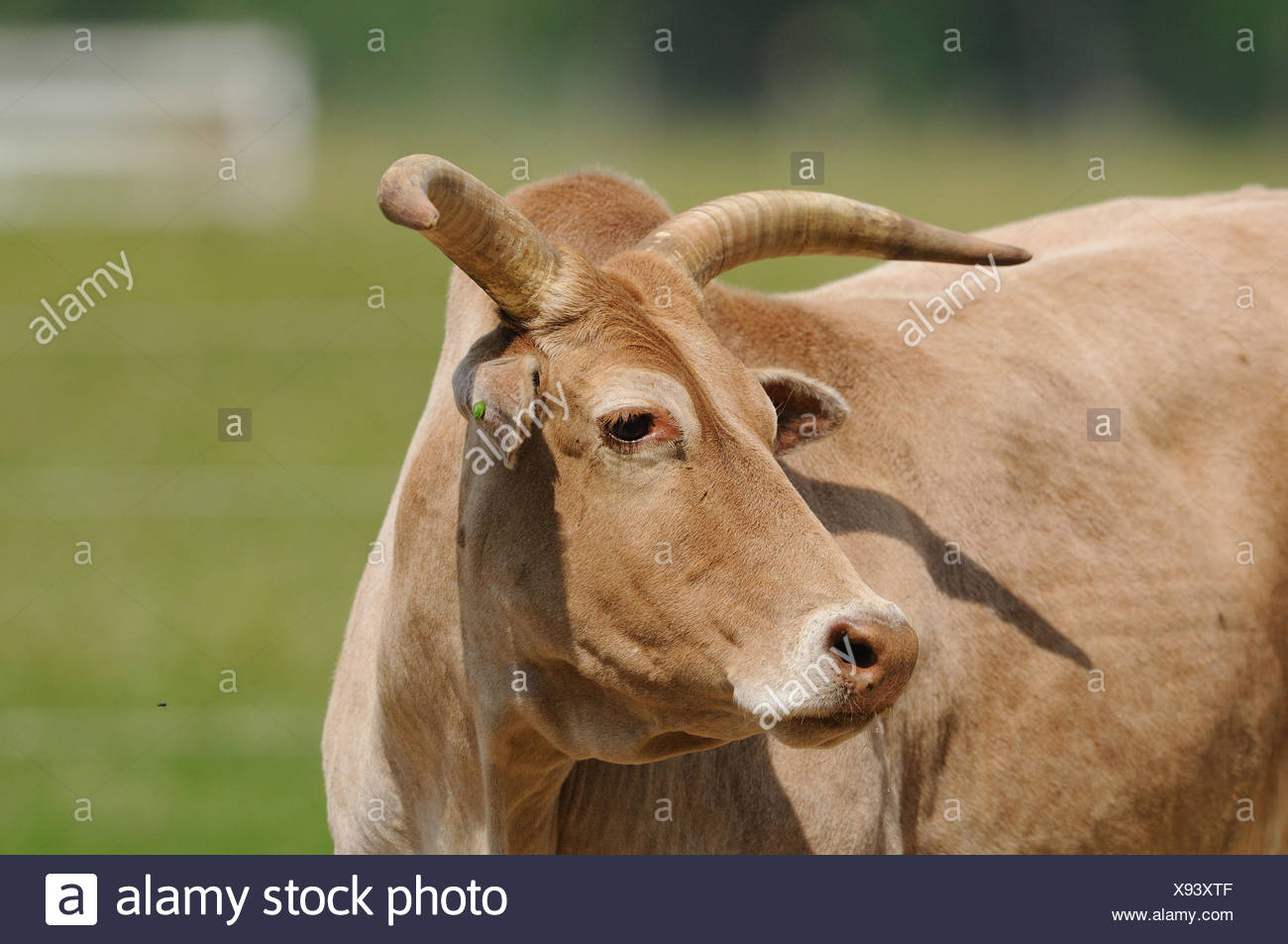 Domestic cattle, Bos primigenius taurus, portrait, side view, Stock Photo