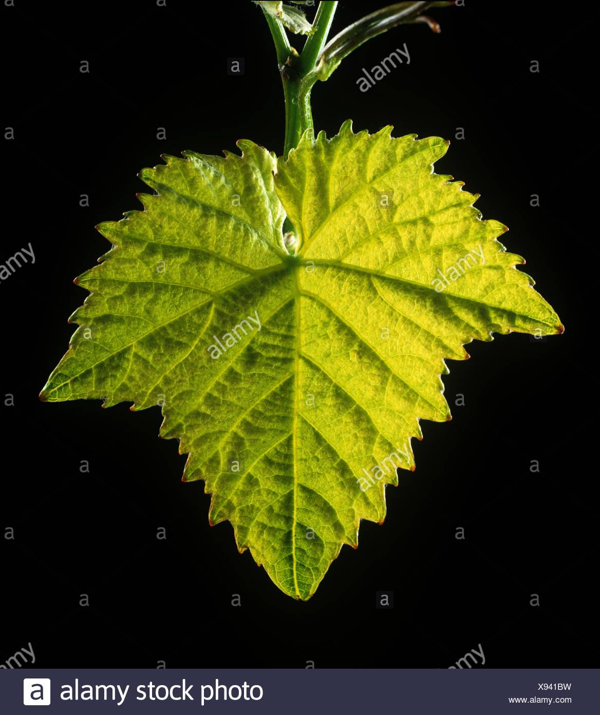 Young vine leaf backlit against a black background - Stock Image