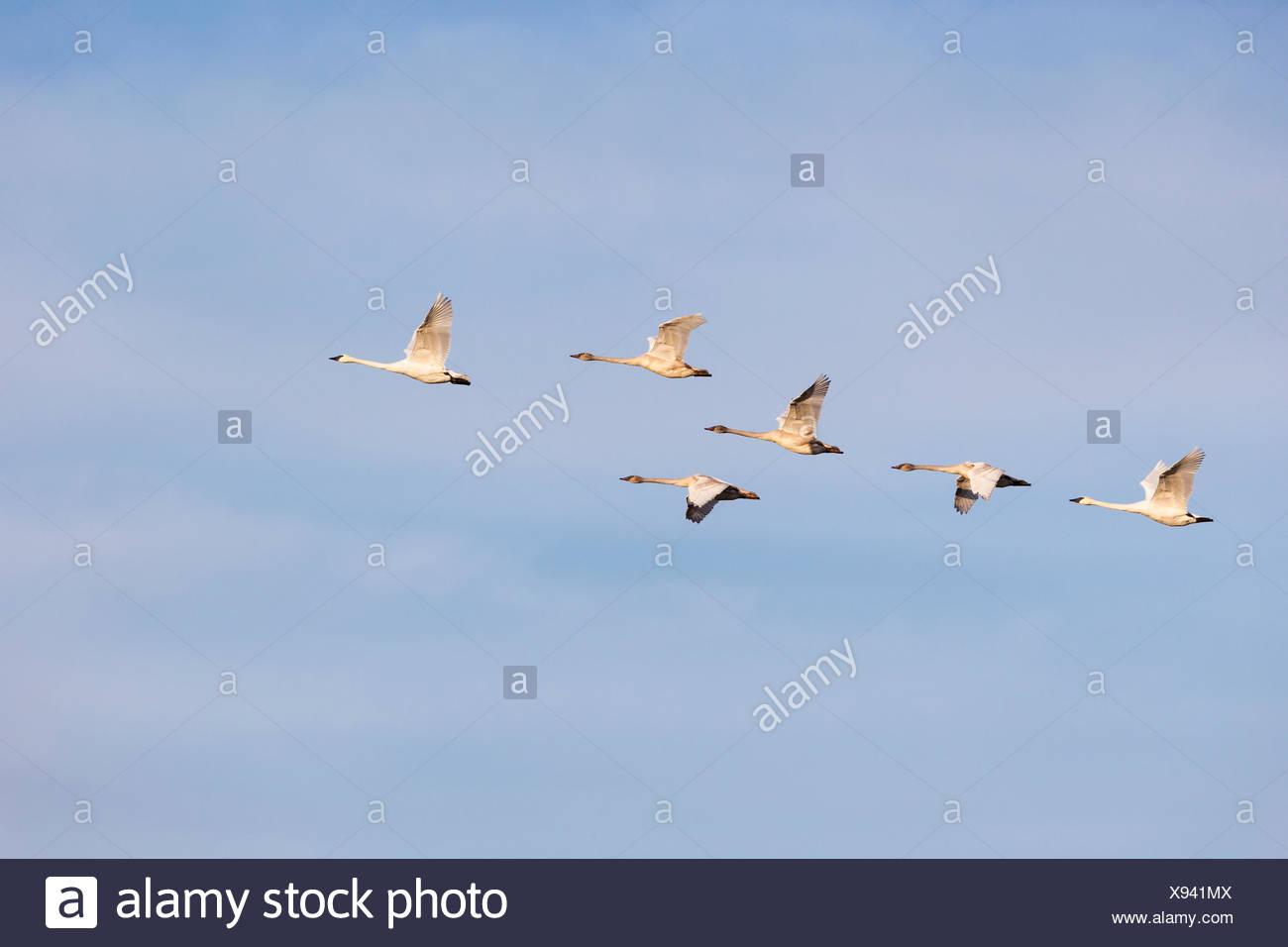 Trumpeter swan), (Cygnus buccinator), adults and juveniles, Nanaimo River Estuary, Nanaimo, British Columbia. - Stock Image