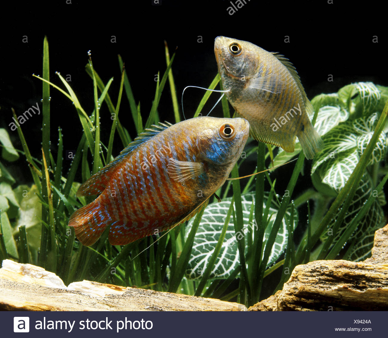 Dwarf Gourami, colisa lalia, Adults Stock Photo