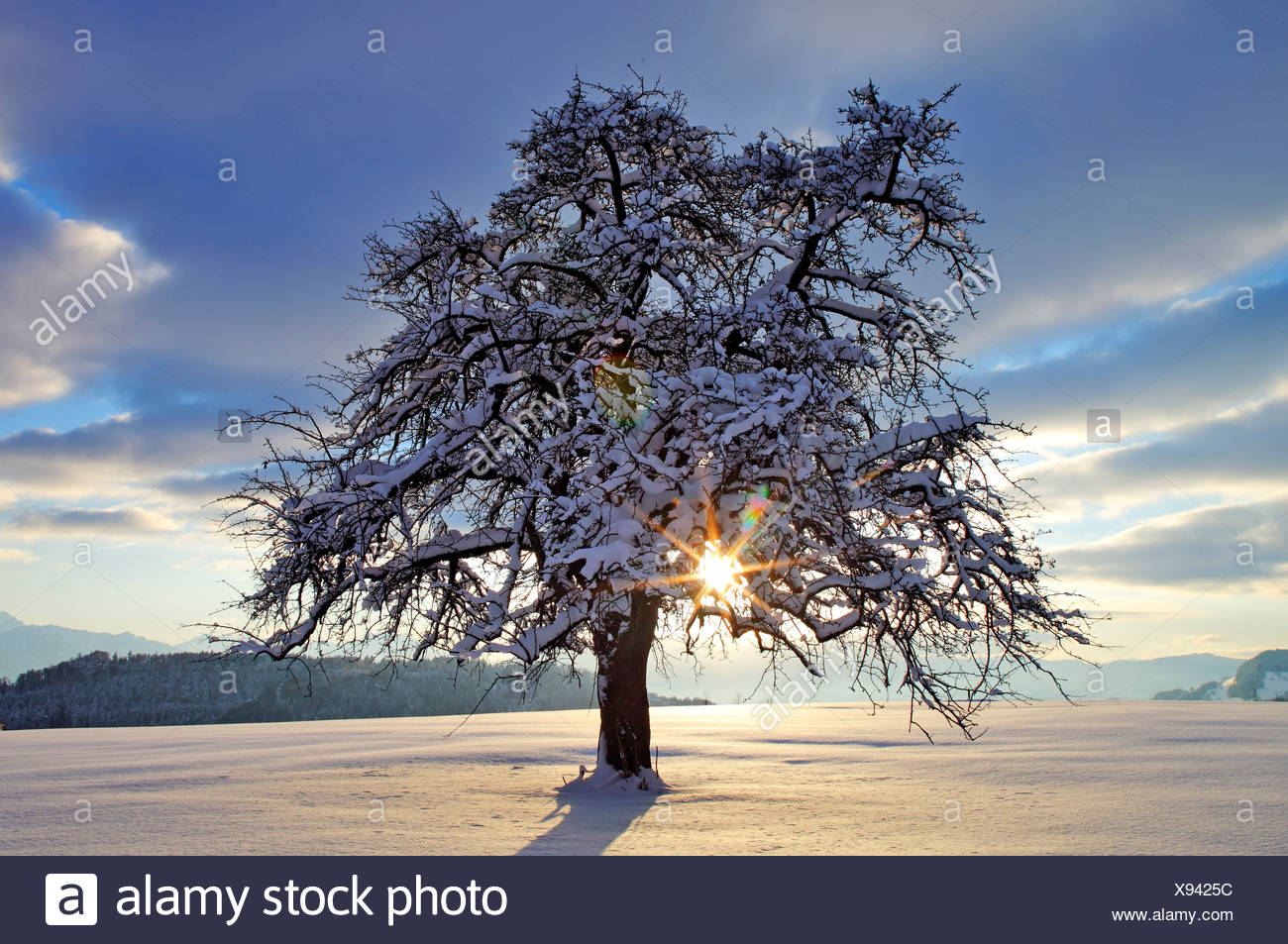 wintry apple tree stock photos wintry apple tree stock