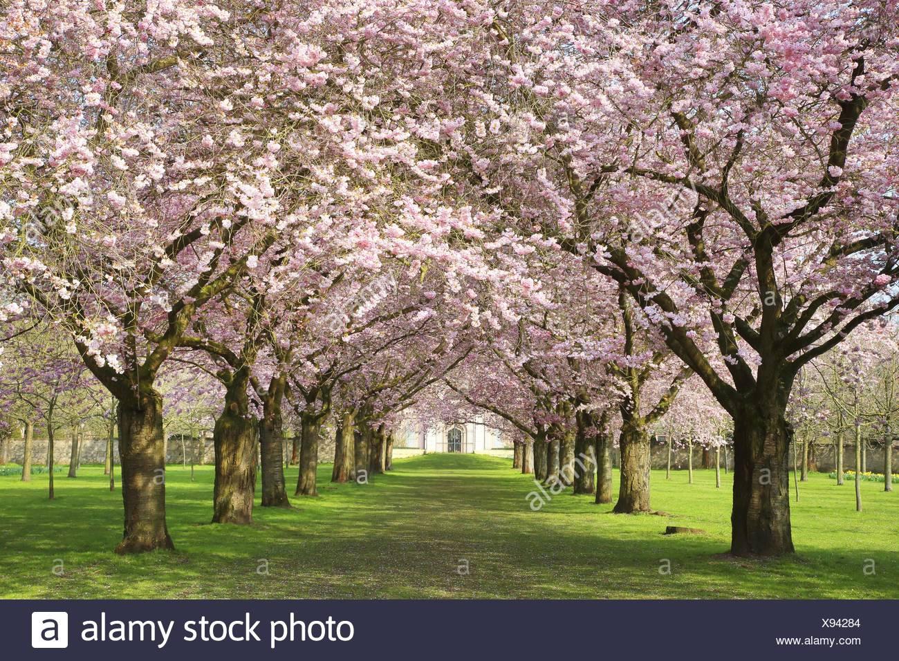 oriental cherry (Prunus serrulata), flowering oriental cherry alley at Schwetzingen Palace, Germany, Baden-Wuerttemberg - Stock Image