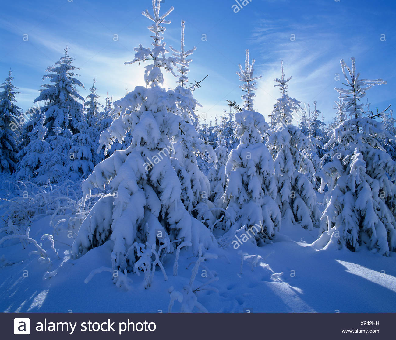 Snow covered Spruce trees (Picea abies), Thuringian Forest, Thuringia - Stock Image