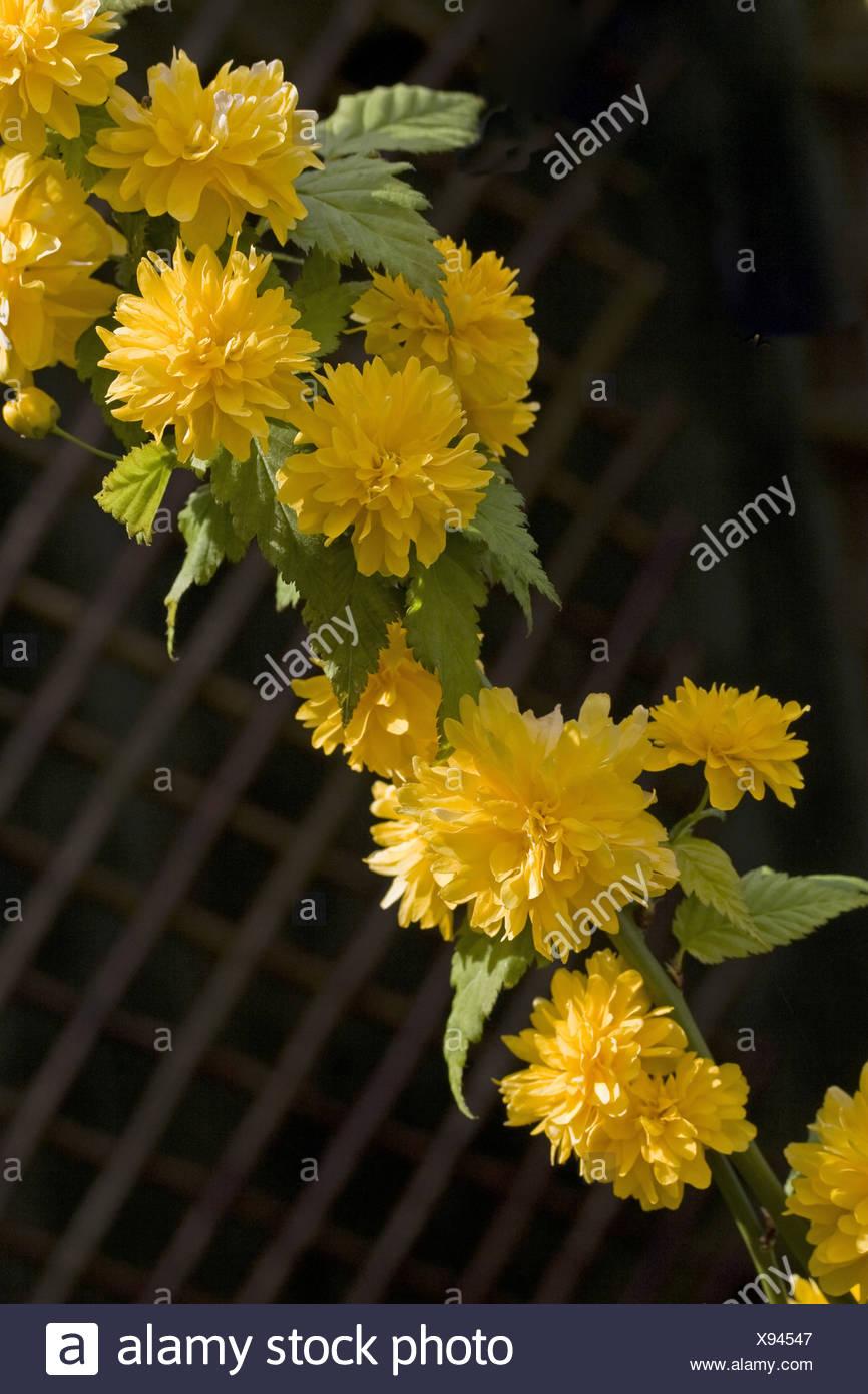 Rampicante Fiori Gialli.Pleniflora Shrub Shrubs Climber Flower Flowering Flowers Yellow