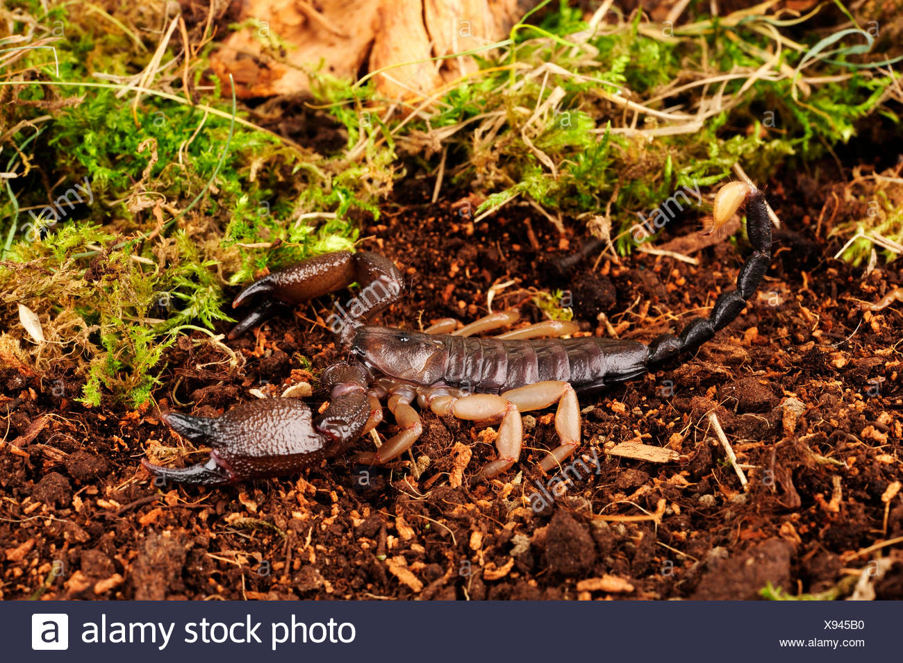 African scorpion (Opisthacanthus rugiceps), in defence posture - Stock Image