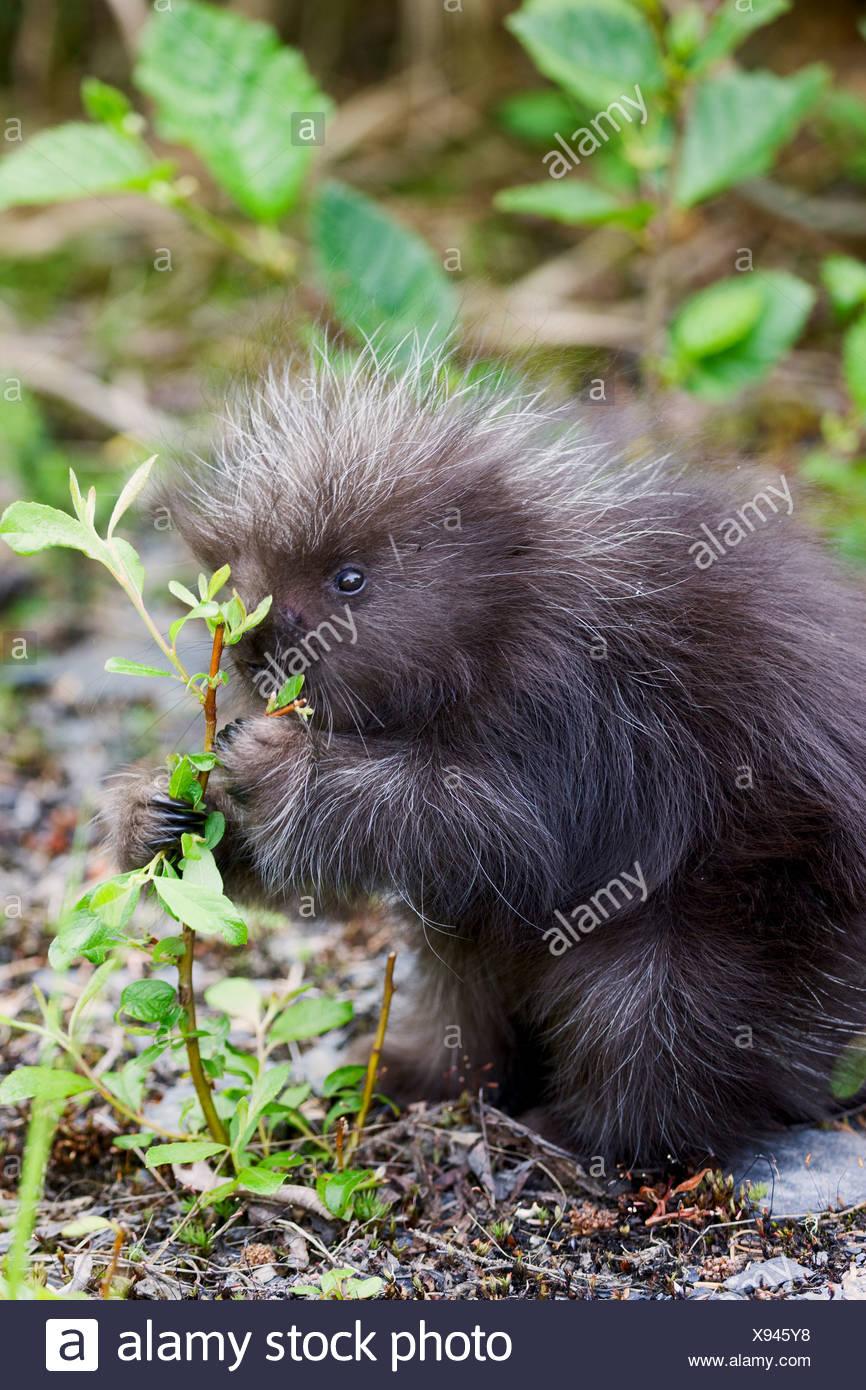 A baby porcupine, near Seward, Alaska. Stock Photo