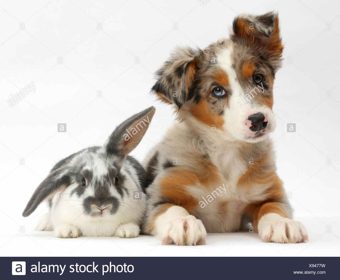 Tricolour merle Collie puppy, Indie, age 10 weeks, with blue-and-white rabbit. - Stock Image
