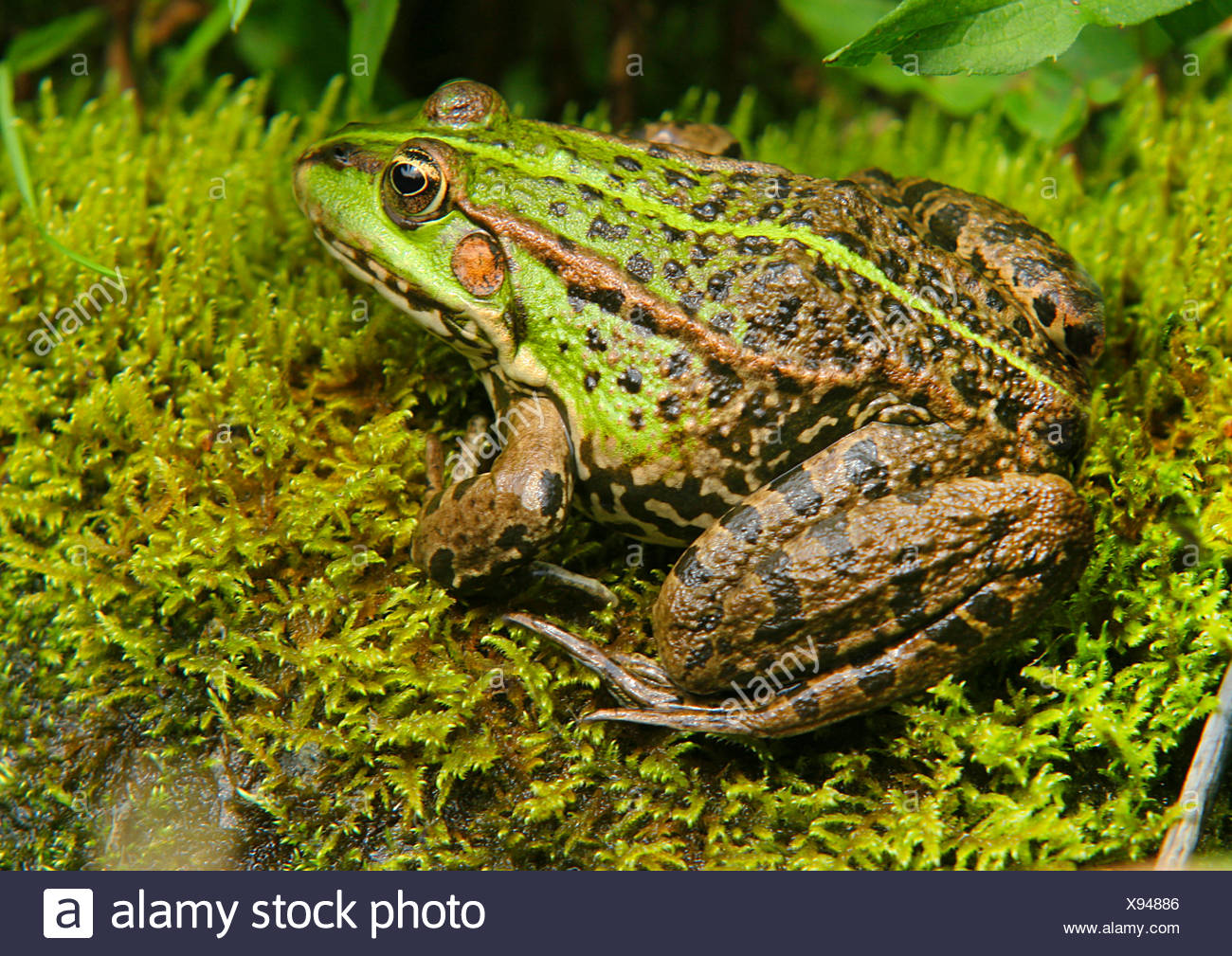European edible frog, common edible frog (Rana kl. esculenta, Rana esculenta, Pelophylax esculentus), sits on moss, Germany - Stock Image