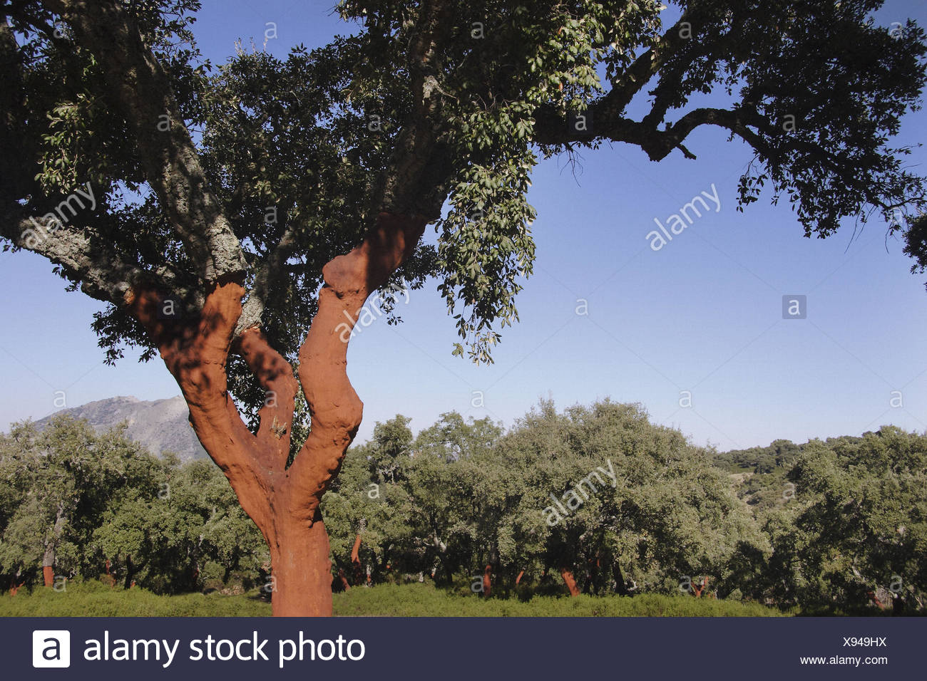 Cork explotation in the forest of the Alcornocales Natural Park. Cádiz. Spain. - Stock Image