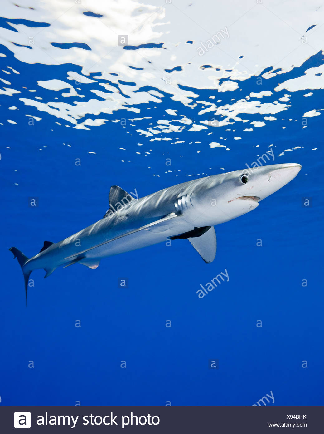 Blue shark, Prionace glauca, large female with mating scar on its side - Stock Image