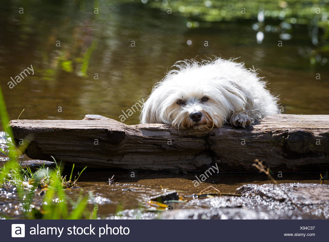 Dog in distress - Stock Image
