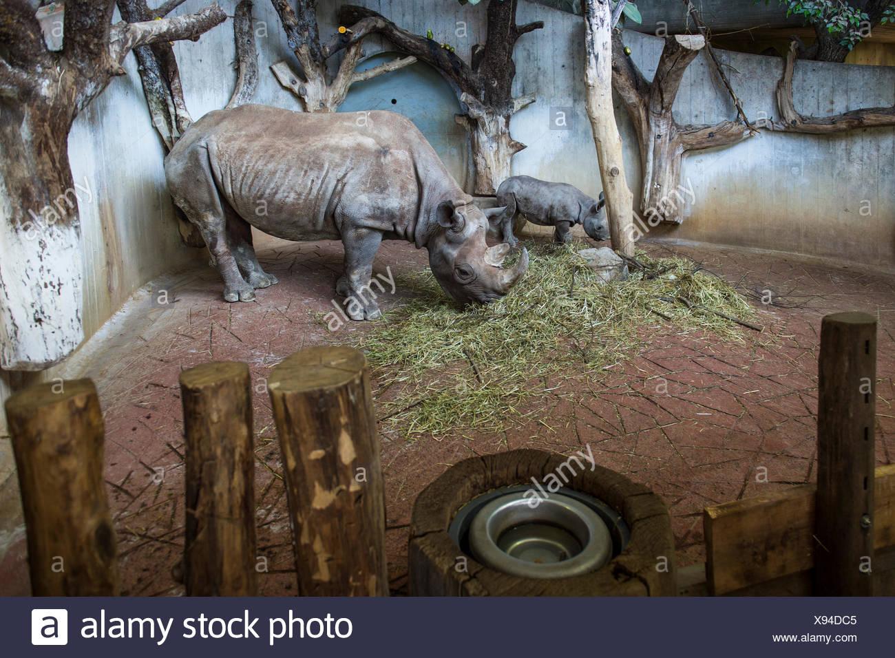 Black Rhinoceros (Diceros bicornis), adult and young, feeding, Zürich Zoological Garden, Zürich, Switzerland - Stock Image
