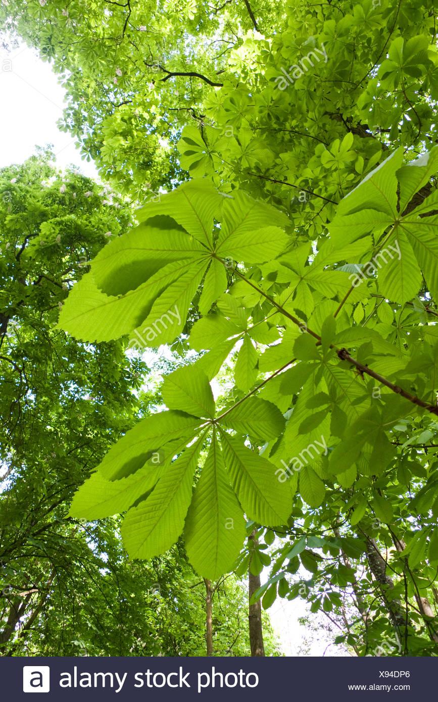 common horse chestnut (Aesculus hippocastanum), leaves from above, Germany, Hesse, NSG Kuehkopf-Knoblochsaue Stock Photo