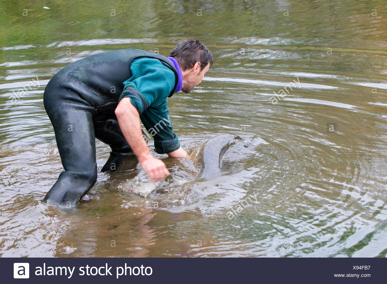 Returned to the water of a northern pike - Vosges France - Stock Image