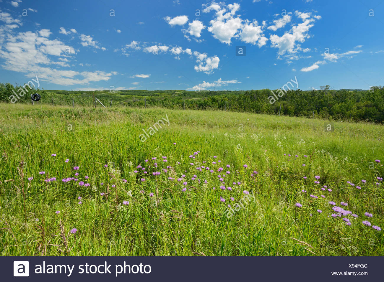 Wild bergamot or bee balm (Monarda fistulosa) flowers on the prairie of the Saskatoon Trail  Near Battleford Saskatchewan Canada - Stock Image