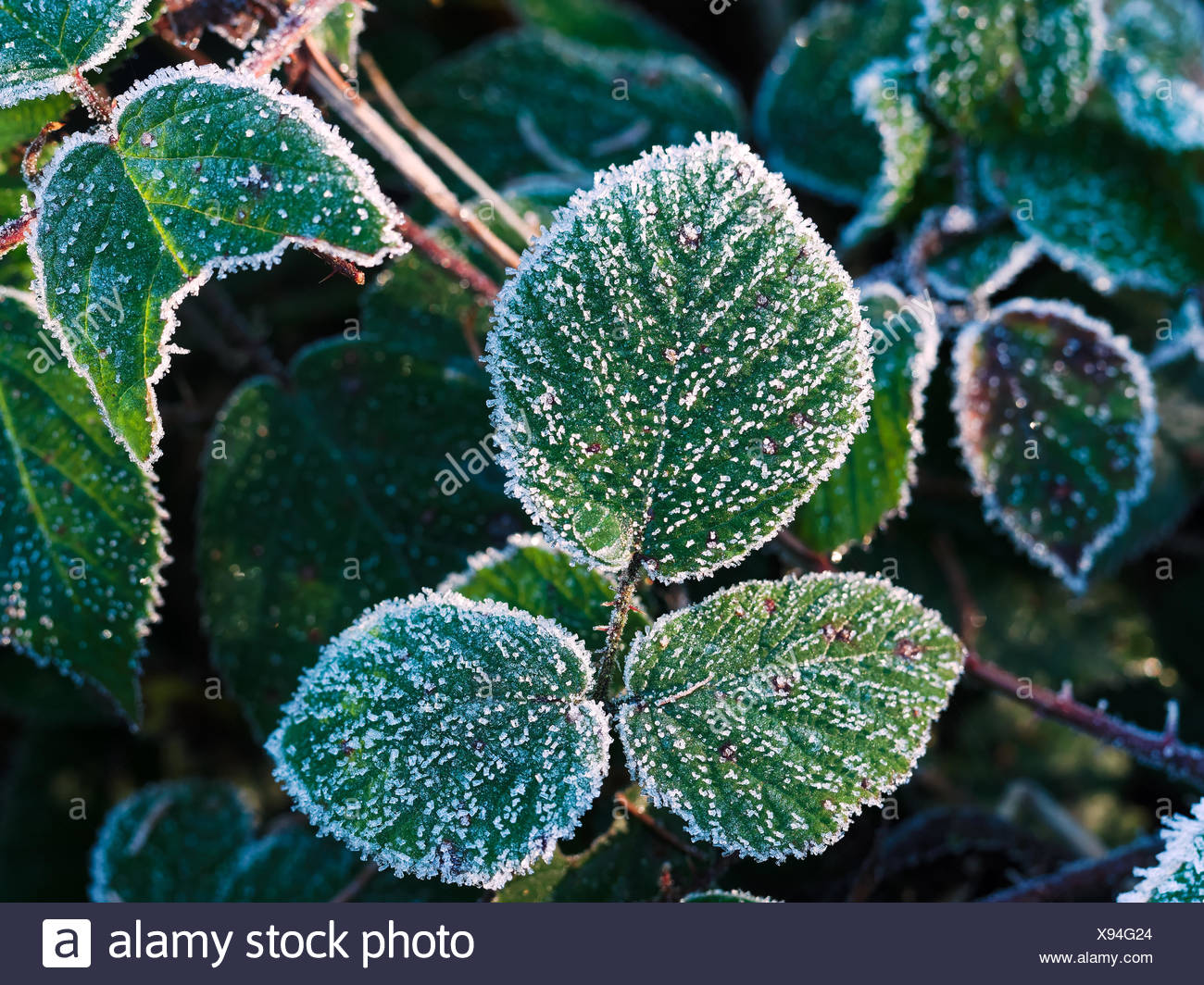 Blackberry leaf with hoarfrost - Stock Image