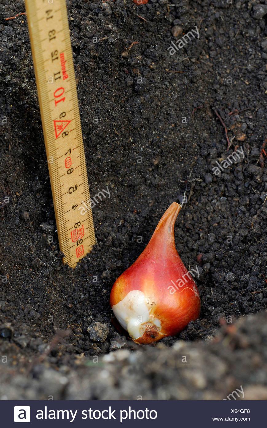 Tulip bulb - Stock Image