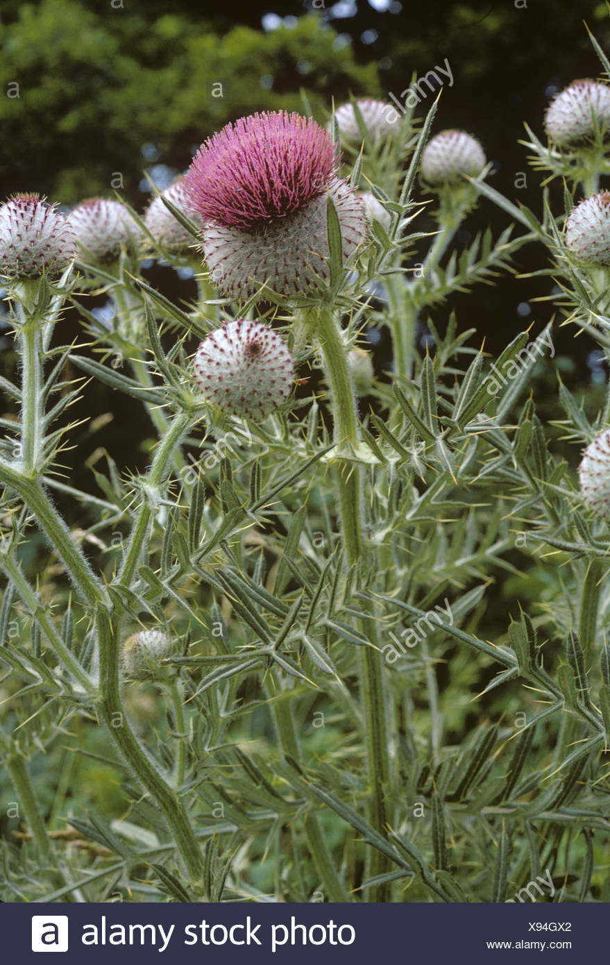 Woolly thistle Cirsium eriophorum flowering plants - Stock Image