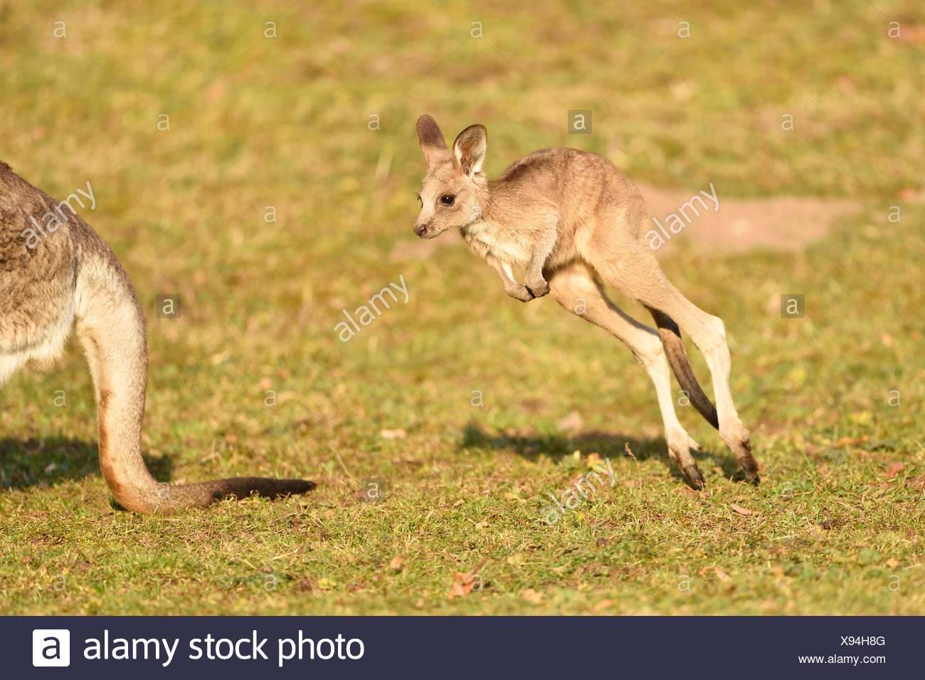 eastern gray kangaroo (Macropus giganteus), cub on a meadow - Stock Image
