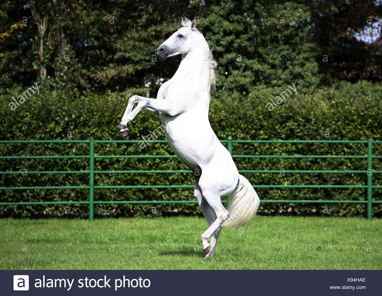 A White Horse Rearing On A Paddock Cologne Germany Stock Photo Alamy