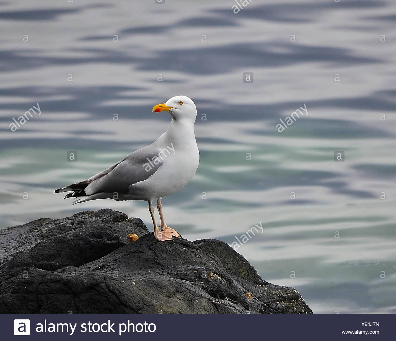 Seagull Perches On Rock Against Sea - Stock Image