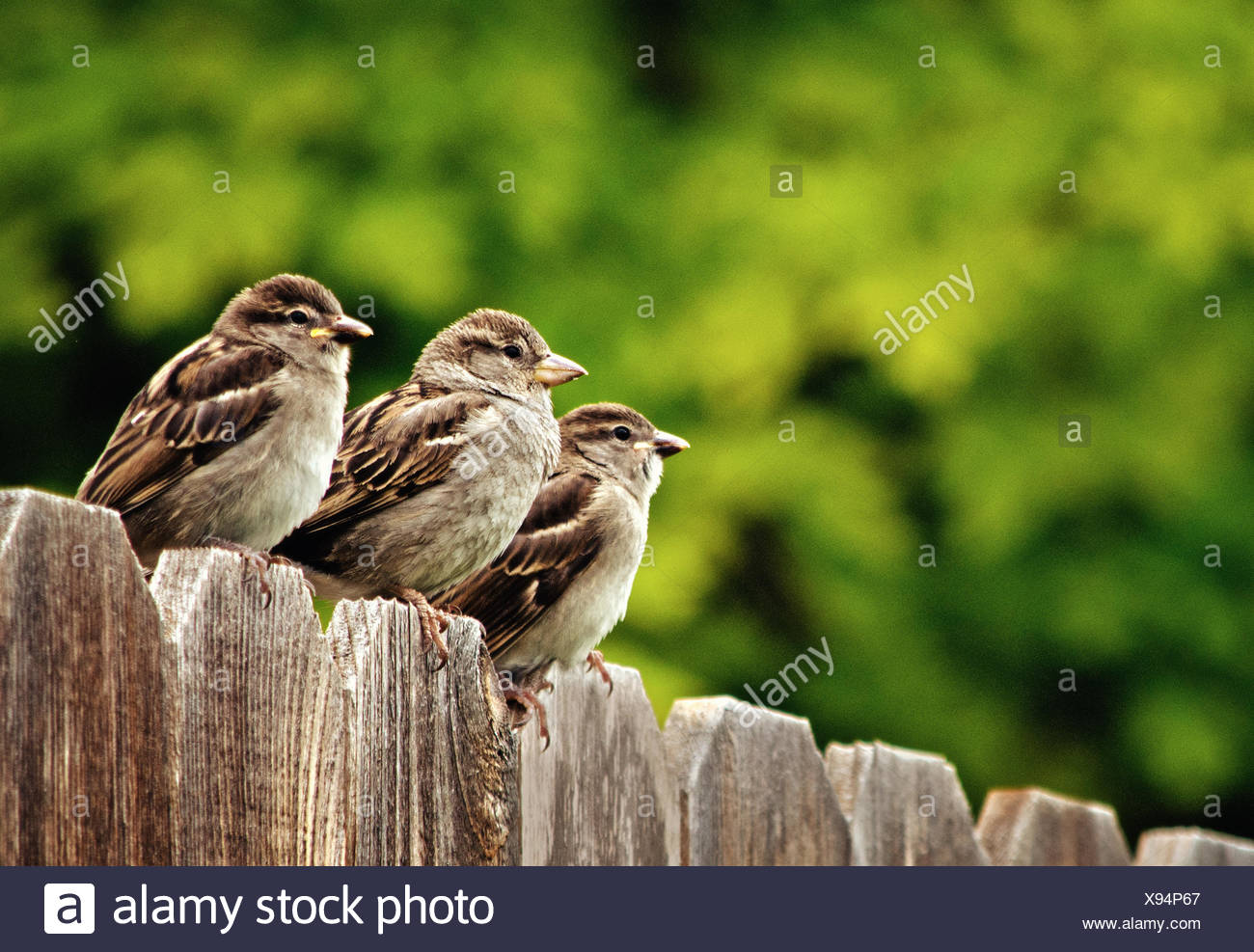 Three house sparrows perching on fence - Stock Image