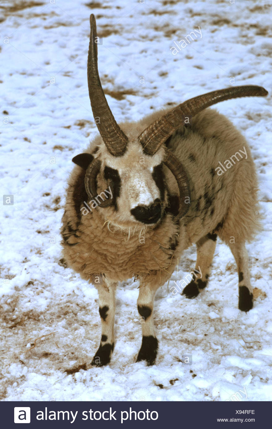 four-horn-sheep (Ovis ammon f. aries), adult animal in snow - Stock Image