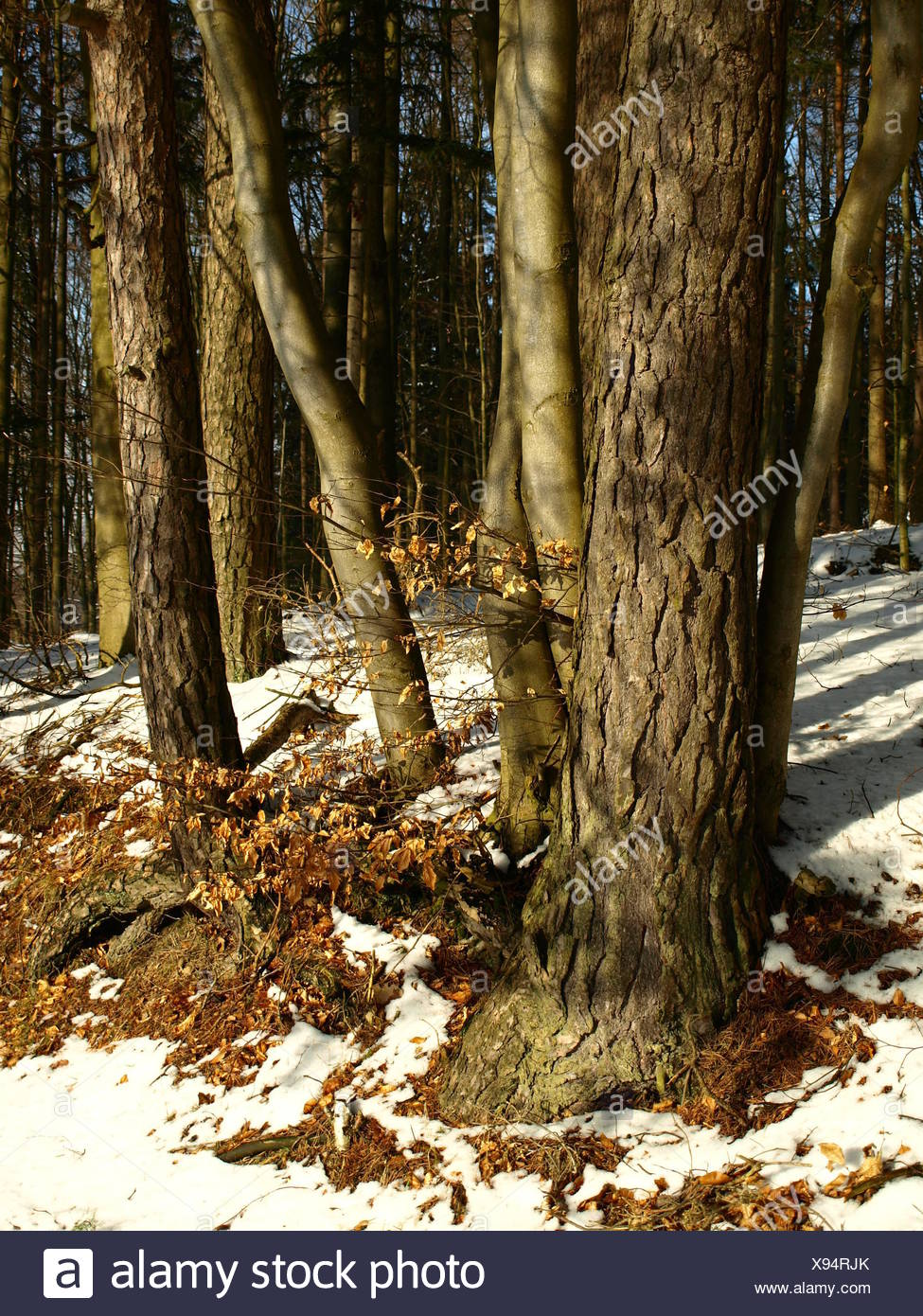 tree trunks in mixed forest Stock Photo