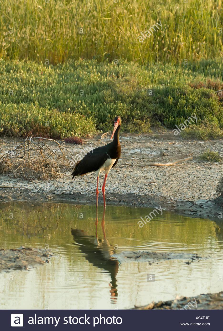 Black Stork on Lesvos - Stock Image